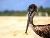 picture of playa del carmen  - Beautiful brown pelican on mexican beach in Playa del Carmen - JPG