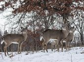 pic of deer rack  - Trio of whitetail deer, alert, in early winter.  Trophy whitetail buck and two does.