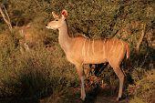 A female kudu antelope (Tragelaphus strepsiceros) in natural habitat, South Africa