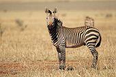 A Hartmanns Mountain Zebra (Equus zebra hartmannae), southern Africa