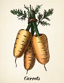 Carrots vintage illustration. Carrots vector image after vintage illustration from Brockhaus' Konversations-Lexikon, 14th edition, Leipzig 1896