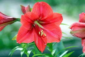 foto of six-petaled  - six petal red flower at the Gardens - JPG