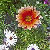 gazania flower closeup in the garden