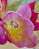 violet and yellow freesia flower closeup