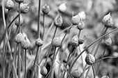 Closed Chive Flower Buds