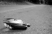 foto of blowfly  - Wood pigeon lies dead in a country lane - monochrome processing