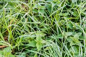 Long Grass And Nettles With Silver Dew Droplets