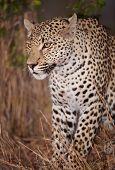 Leopard Sitting Alert In Savannah