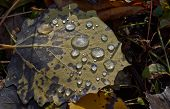 Dew Drops  In Autumn Park.