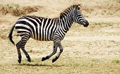Single Zebra (african Equid)
