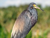 Watchful Tricolored Heron
