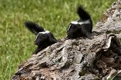 picture of skunks  - Two baby skunks with tails up looking in the same direction - JPG