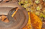 Red-bellied Water Snake