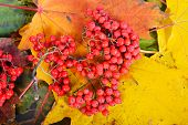Red sorbus on the autumn maple leafs