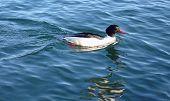 Goosander Male Duck