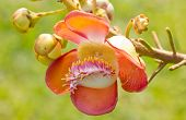 picture of cannonball  - Beautiful close-up of Cannonball tree flowers (Couroupita guianensis).