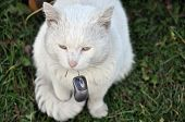 picture of cat-tail  - White cat holding a computer mouse by the tail - JPG