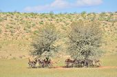 Springbok Herd Hiding Under Tree