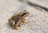 stock photo of tadpole  - A young frog captured resting on some concrete - JPG