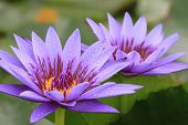 Water Lily flowers