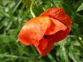Red poppy flower with drops