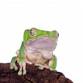 Giant leaf frog on white background