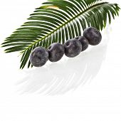 Single Green leaf of palm tree close up with fresh fruits isolated on white background.