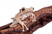 Borneo eared frog on white background
