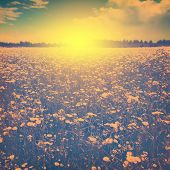 Summer landscape with daisy field in vintage  style.