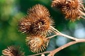 stock photo of spiky plants  - Autumn macro shot of a spiky pods - JPG