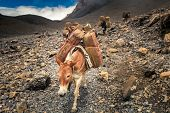 stock photo of wild donkey  - Donkey caravan in Nepal  - JPG