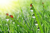 morning dew and ladybirds
