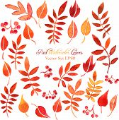 picture of rowan berry  - vector set of red autumn watercolor leaves and berries - JPG