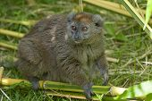 Aloatra Bamboo Lemur