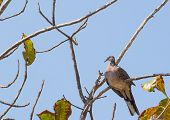 Spotted dove sitting on the tree branch