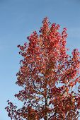 Red Autum Tree