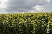 flowering sunflowers field
