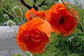 image of orange blossom  - Poppies blossoming in strong orange color - JPG