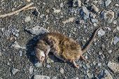 image of dead mouse  - Dead rat laying on earth an the road - JPG