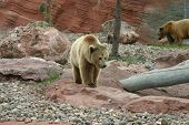 foto of grizzly bear  - Great grizzly bear walking with mama bear - JPG