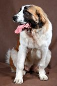 Breed Dog Saint Bernard, Sits Studio Photo On Brown Background.