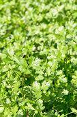Fresh Cilantro Herb plant in farm.