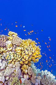image of fire coral  - coral reef with fire corals and exotic fishes anthias at the bottom of tropical sea on blue water background - JPG