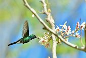 pic of hummingbirds  - Flying Cuban Emerald Hummingbird  - JPG