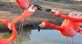 picture of flamingo  - Large flamingo birds fight with their beacks - JPG