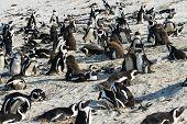 stock photo of jackass  - African Penguins  - JPG