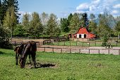 stock photo of red barn  - Mare and Filly Grazing in a Meadow near Fort Langley British Columbia with their red barn in the background - JPG