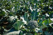 Постер, плакат: Ripe Broccoli Plants In A Large Field