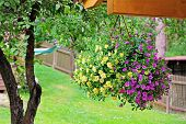 picture of petunia  - flower pot with colorful petunia hanging in backyard - JPG