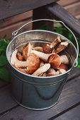 image of gathering  - wild edible orange and brown cap boletus mushrooms gathered in watering can on wooden bench - JPG